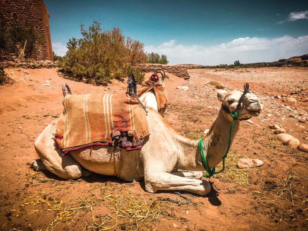 Camello Ait Ben Haddou, Marakech